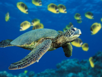 Green_sea_turtle_11